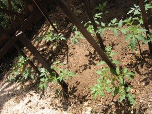 pomodori piano terra